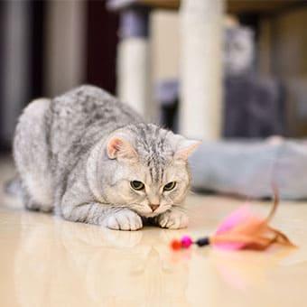 Во что поиграть с кошкой и почему это так важно