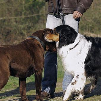 Как знакомить собак на прогулке